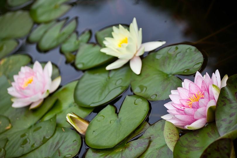 Lilie wodne Gorlice